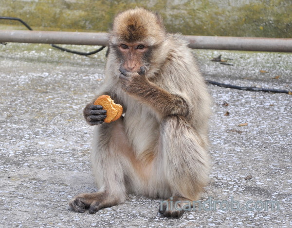 Ape with cookies!