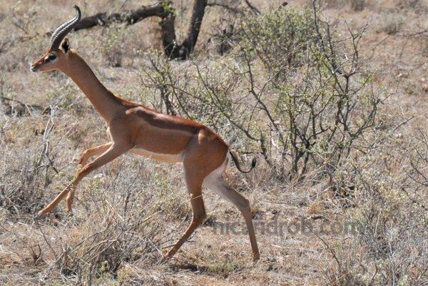 gerenuk running