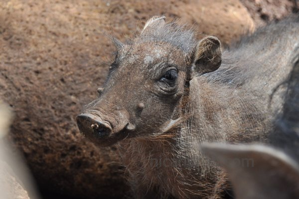 The baby warthog