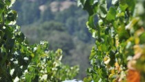 Wordless Wednesday: Chardonnay Grape Harvest in Sonoma