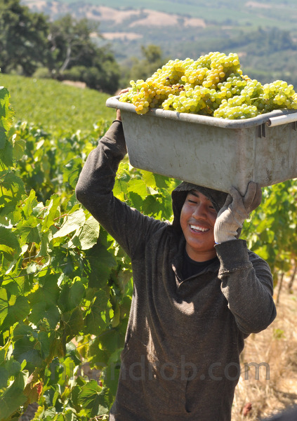 Happy Grape Harvester