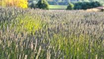 Wordless Wednesday: Matanzas Creek Lavender Fields