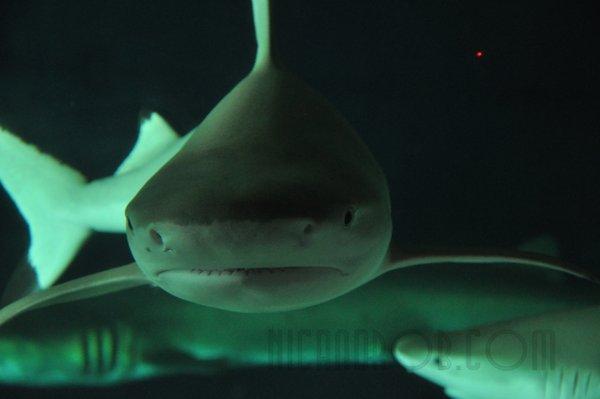 Nicole's Shark