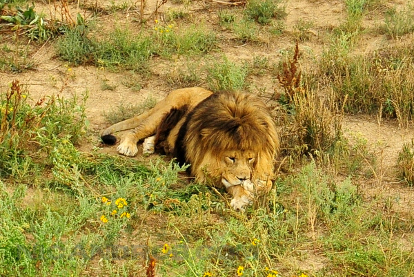 Another lion snoozes in the grass
