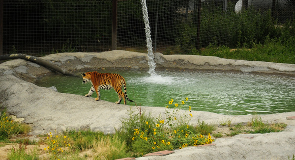 A tiger taking advantage of the swimming pool