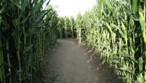 Where to Find Corn Mazes in Los Angeles