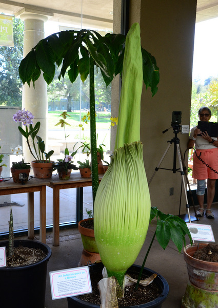 The Corpse Flower, ready to bloom