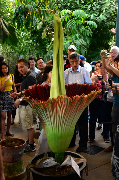 The Corpse Flower at The Huntington Library