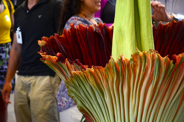 The Corpse Flower bloom, up close